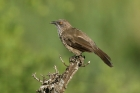Arrow marked Babbler by Mick Dryden