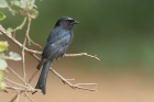 Fork tailed Drongo by Mick Dryden