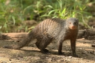 Banded Mongoose by Mick Dryden