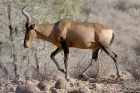 Red Hartebeest by Mick Dryden