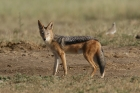 Black-backed Jackal by Mick Dryden