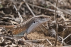 Plated Lizard by Mick Dryden