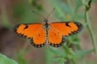 Small Orange Acraea by Mick Dryden