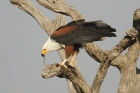 African Fish Eagle by Mick Dryden