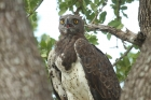 Martial Eagle by Mick Dryden