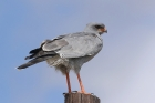 Pale chanting Goshawk by Mick Dryden
