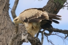Tawny Eagle by Mick Dryden