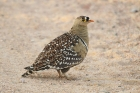Double-banded Sandgrouse by Mick Dryden