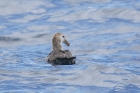 Northern Giant Petrel by Mick Dryden