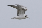White winged Tern by Mick Dryden