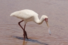 African Spoonbill by Mick Dryden