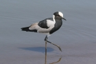 Blacksmith Plover by Mick Dryden