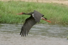 Black Stork by Mick Dryden