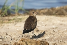 Black winged Pratincole by Mick Dryden