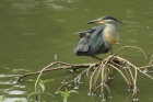 Green-backed Heron by Mick Dryden