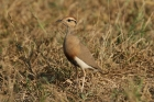 Temmincks Courser by Mick Dryden