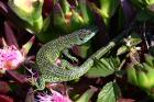 Green Lizard by Mick Dryden