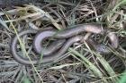 Slow Worm by Miranda Collett