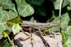Wall Lizard by Mick Dryden