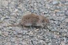 Shrew sp by Mick Dryden