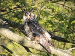 Long-eared Owl by Sarah Scriven