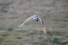Barn Owl by Chris Stamper