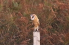 Barn Owl by Mick Dryden