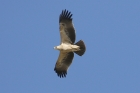Booted Eagle by Mick Dryden