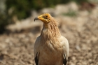 Egyptian Vulture by Mick Dryden