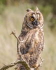 Long-eared Owl by Annie Queree
