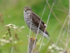 Sparrowhawk by David Smith
