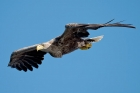 White-tailed Eagle by Romano da Costa