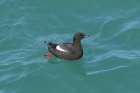 Black Guillemot by Mick Dryden