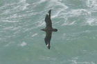 Great Skua by Mick Dryden