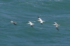 Gannets by Mick Dryden