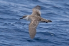 Great Shearwater by Mick Dryden