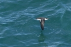 Manx Shearwater by Mick Dryden