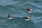 Puffins by Mick Dryden