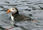 Puffin by Keith Pyman