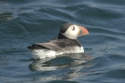 Puffin by Mick Dryden