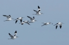 Avocets by Trevor Biddle