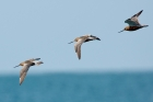 Bar-tailed Godwits by Romano da Costa