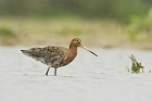 Black tailed Godwit by Romano da Costa