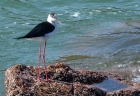 Black-winged Stilt by Tony Wright