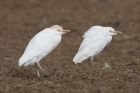 Cattle Egret by Mick Dryden