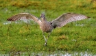Curlew by Tony Wright