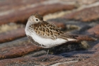 Dunlin by Mick Dryden