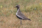 Golden Plover by Mick Dryden