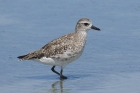 Grey Plover by Mick Dryden