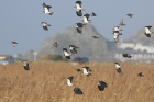 Lapwings by Mick Dryden